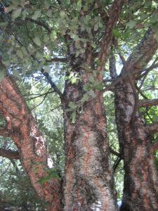 Quercus suber, Korkeiche, Gärten von Schloss Trauttmansdorff, Meran