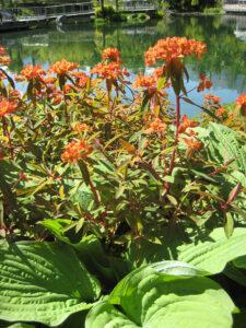 Euphorbia griffithii 'Fireglow' im Wassergarten der Trauttmansdorffer Gärten, Meran