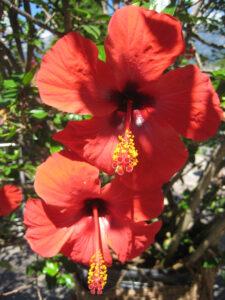 Hibiscus rosa-sinensis in den Gärten von Schloss Trauttmansdorff, Meran