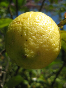 Citrus limon, Zitronenbaum in den Gärten von Schloss Trauttmansdorff