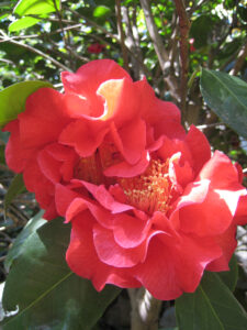 Camellia reticulata x japonica 'Dr. Clifford Park's' in den Gärten von Schloss Trauttmansdorff