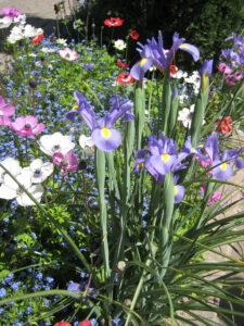 Anemone coronaria 'De Caen' und Iris x hollandica in den Gärten von Schloss Trauttmansdorff