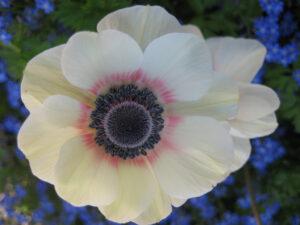 Anemone coronaria 'De Caen' in den Gärten von Schloss Trauttmansdorff