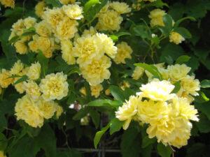 Rosa banksiae lutea hängt weit über die Brüstung und die Pergola-Schattengänge in den Trauttmansdorffer Gärten