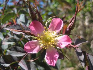 Rosa glauca, in den Gärten von Schloss Trauttmansdorff, Meran