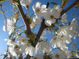 Kirschblüte in den Gärten von Schloss Trauttmansdorff, Meran