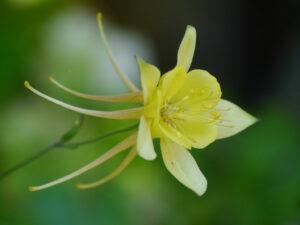 Aquilegia caerulea 'Maxi', Wurzerlsgarten