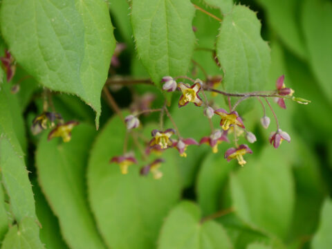 Epimedium alpinum, Alpen-Elfenblume Wurzerlsgarten