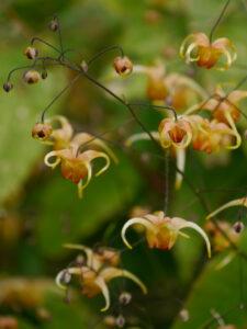 Epimedium x cultorum 'Amber Queen', Elfenblume in Wurzerlsgarten