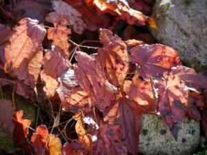 Epimedium x rubrum, Blätter Anfang März in Wurzerlsgarten