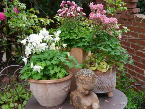 Akeleien-Dekoration im Rosenpavillon von Wurzerlsgarten