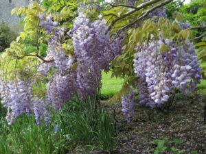 Wisteria in Greys Court