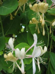 Lonicera caprifolium im Weißen Garten von Greys Court