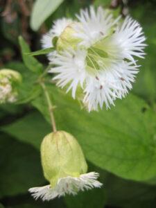 Silene multifida, Leimkraut, Greys Court, White Garden