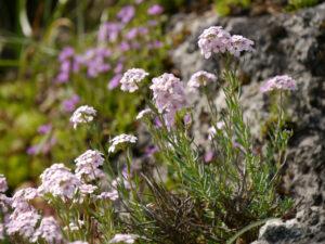 Aethionema armenum, Armenisches Steintäschel, Alpinum des Botanischen Gartens München