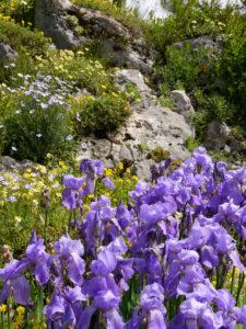 Iris im Alpinum des Botanischen Gartens München