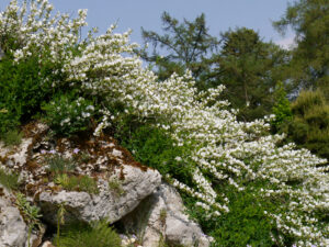 Chamaecytisus purpureus 'Albus', im Alpinum des Bot. Garten München