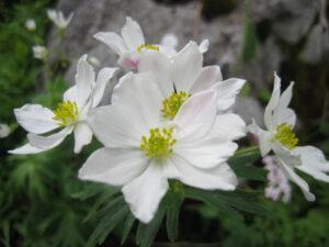 Anemone narcissiflora, narzissenblütiges Winddröschen, Alpinum des Botanischen Gartens München,