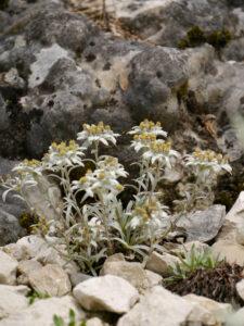 Leontopodium alpinum var. pericicum, Alpinum, Bot. Garten München