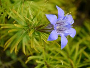 Gentiana paradoxa, Merkwürdiger Enzian, im Alpinum des Botanischen Gartens München