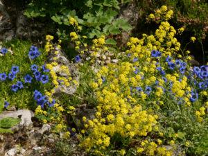 Blütenfest mit Enzian im Alpinum des Botanischen Gartens München