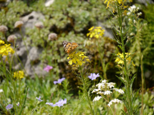 Distelfalter im Alpinum des Botanischen Gartens München