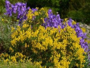 Ginster und Iris im Alpinum des Botanischen Gartens München