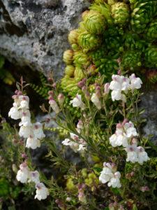 Antirrhinum pulverulentum, Staubiges Löwenmaul, Alpinum, Bot. Garten München