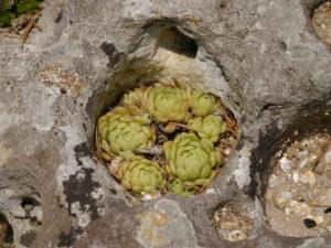 Rosularia chrysantha schmiegt sich in den Felsen des Alpinums im Botanischen Garten München