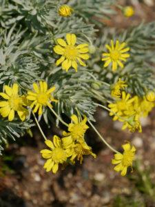 Armeria maritima ssp. andina, Anden-Grasnelke, Alpinum des Botanischen Gartens München