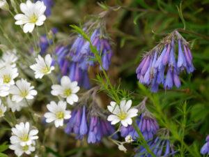 Moltkia suffruticosa, Moltkie im Alpinum des Botanischen Gartens München