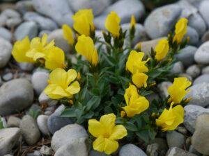 Linum campanulatum Glocken-Lein im Alpinum des Botanischen Gartens München