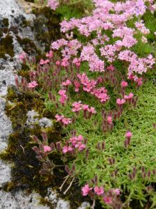 Saponaria pumilio, Alpinum, Bot. Garten München