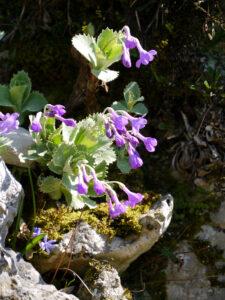 Primula marginata, Weißrand-Aurikel, Alpinum, Bot.Garten München
