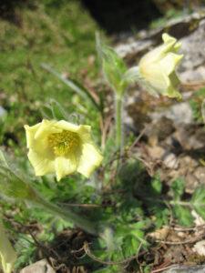 Pulsatilla albana, Alpinum, Bot. Garten München