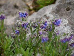 Paramoltkia doerfleri, Alpinum des Botanischen Gartens München