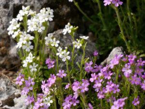 Erinus alpinus, Alpenbalsam im Alpinum des Botanischen Gartens München