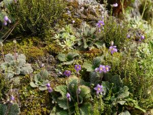 Ramonda mykoni, Pyrenäen-Ramonde im Alpinum des Botanischen Gartens München