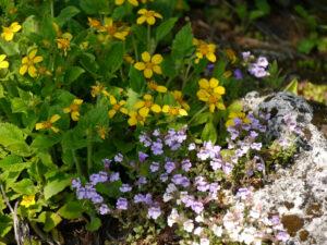 Chrysogonum virginianum L., Virginia Goldkörbchen, im Alpinum des Botanischen Gartens München