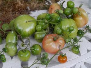 Tomaten im Landhausgarten Hantelmann