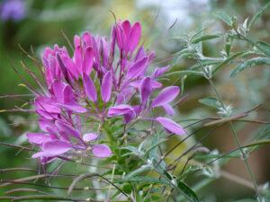 Cleome hassleriana, Spinnenblume,  im Landhausgarten Hantelmann