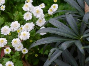 Das dunkle Laub der Helleborus hebt sich wunderbar vom weißen gefüllten Mutterkraut ab im weißen Senkgarten des Landhausgartens Hantelmann