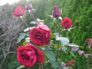 Rosen zum Schneiden im Landhausgarten Hantelmann