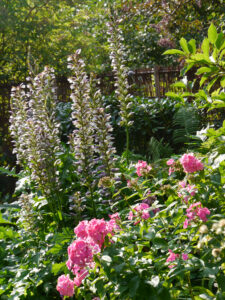 Akanthus hinter rosa Phloxblüten im Landhausgarten Hantelmann