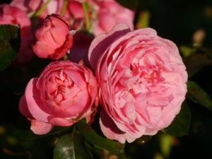 Rosenparadies im Landhausgarten Hantelmann