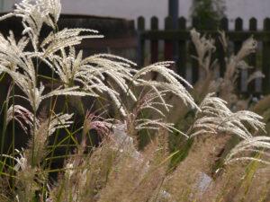 Im Gräserpfad 2018 im Garten Pecoraro-Schneider