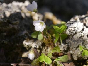Oxalis acetosella, Waldsauerklee, Vorgarten in Wurzerlsgarten