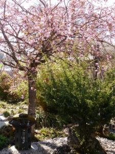 Prunus x hybridus, leider eine gefüllte Zierhängekirsche im Vorgarten von Wurzerlsgarten
