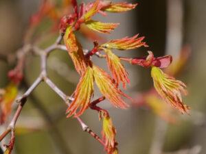 Acer palmatum, Fächerahorn im Austrieb, Vorgarten von Wurzerlsgarten