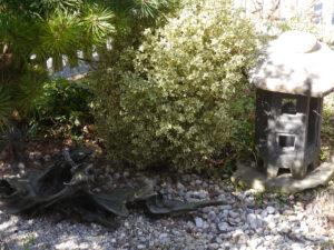 Buxus sempervirens 'Variegata' Vorgarten von Wurzerlsgarten